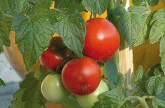 Λαχανόκηπος: ντομάτες, αγγουράκια, πιπεριές Garden Guide, Outdoor Planters, Stuffed Peppers, Vegetables, Nature, Food, Cherry, Gardens, Business