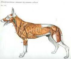 Atlas de anatomia topográfica de los animales domésticos - Buscar con Google