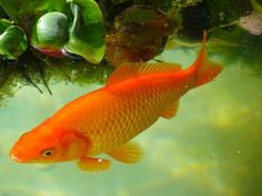 An aquarium guide to five of the best fish you can keep to start your aquarium and five of the worst fish you can choose to start your aquarium.  Some of the fish listed as worst may surprise you!