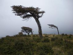 Winner: Vicki Title: Windswept Inspiration Description: In the bitterly cold winds of inhospitable southern Patagonia, this tree epitomises the struggle to overcome impossible conditions.