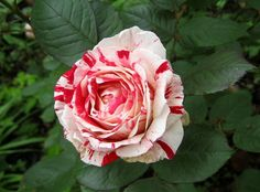 """""""Off with his head!""""    Red & white peppermint candy striped roses."""
