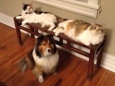 Stella the Shetland Sheep dog and her two Maine Coon companions; Alice B. & Clara Bow.