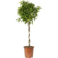 Bjørkefiken m/ tvinnet stamme - Plantasjen. Ficus Microcarpa, Konmari, Flora, Herbs, Plants, Interior, Indoor, Herb, Plant