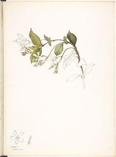 sampaguita - national flower of the Philippines  Margaret Neilson Armstrong, White Jasmine, 1911.