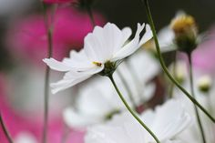 White cosmos.  I've taken and developed so that the dark background.
