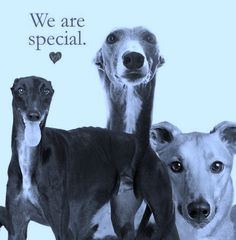 ~ Greyhounds Are Special ~