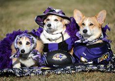 SuperBowl Champion Dog Sports Apparel   http://www.petsportsgear.com/nfl-pet-sports-gear/baltimore-ravens.html