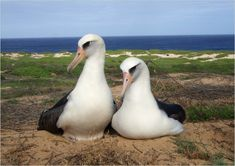 Natürlich: THIS FEMALE/FEMALE PAIR OF ALBATROSSES WILL LIKELY MATE FOR LIFE