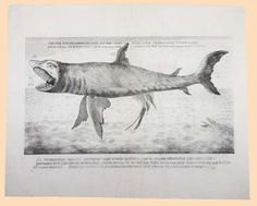Early depiction of a Great White Shark, ca. 1760