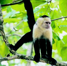 White Faced #Capuchin #monkey. These monkeys feed not only from fruit, but also enjoys #insects @Michelle Flynn Sw and small vertebrates. #wildlife #rainforest #MawambaLodge #Tortuguero #CostaRica