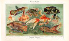 Tropical Fish Aquarium Antique Chromolithograph by carambas