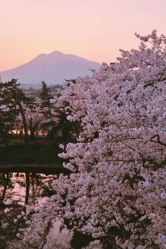 japan holidays aomori virtual travel visit japan spring blossom stunning photography art photography japanese gardens cherry blossoms
