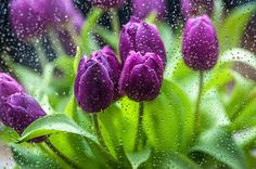 Rainy Tulips 1 Wood Print by Jenny Rainbow. All wood prints are professionally printed, packaged, and shipped within 3 - 4 business days and delivered ready-to-hang on your wall. Choose from multiple sizes and mounting options. Art Prints For Home, Home Art, Fine Art Prints, Framed Prints, Framed Art, All Flowers, Spring Flowers, Beautiful Flowers, Spring Images