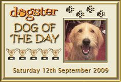 Dog profile for Josie, a female Labrador Retriever/Norfolk Terrier