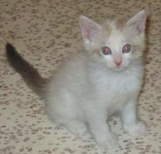 Sawyer is an adoptable Ragdoll Cat in Parlier, CA. This litter of adorable kittens was dumped at Fresno Woodward Park when they were tiny (about 5 weeks old) and left to fend for themselves. A dedicat...