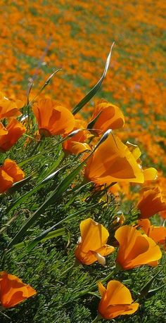 California Poppies in the Antelope Valley ... I can't wait till spring :)