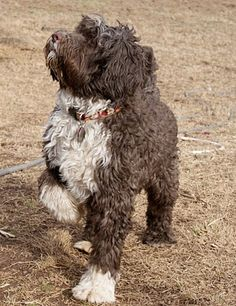 Light brown portuguese water dog - photo#18