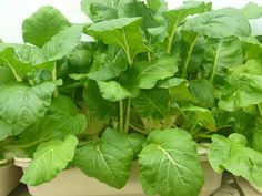 Sawi planted on static flow hydroponic system. Home Hydroponics, Backyard Aquaponics, Hydroponics System, Rafting, Make It Simple, Eco Friendly, Flow, Plant Leaves, Garden