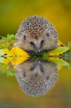 hedgehog --- photo by Edwin Kats