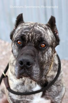"""""""Cuba is a very loyal, people pleasing dog who is generally mild mannered and a delight to be around. He is quiet, clean, and protective of his home and people.""""  Check out his page for adoption information!"""