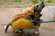 Snoopy couldn't decide if he wanted to be a taco or a turkey this year, so he compromised.