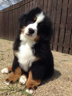 Cute Baby Dogs, Cute Dogs And Puppies, Cute Baby Animals, Animals And Pets, Bermese Mountain Dog, Mountain Dogs, Golden Retrievers, Bernese Dog, Entlebucher