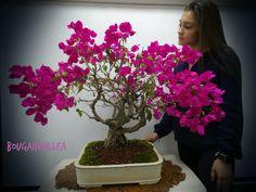 Amazing bonsai trees in custom handmade one of a kind bonsai pots Bougainvillea Bonsai, Bonsai Trees, Miami, Tropical, Plants, Bonsai