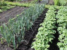 Succession Planting How To Get The Most From Your Garden This Year! is part of Home garden Plants - If you are growing a garden to feed your family then succession planting is a must! It ensures a steady harvest throughout the entire growing season Home Vegetable Garden, Home Garden Plants, Garden Pests, Veggie Gardens, Planting Vegetables, Organic Vegetables, Growing Vegetables, Growing Tomatoes, Succession Planting