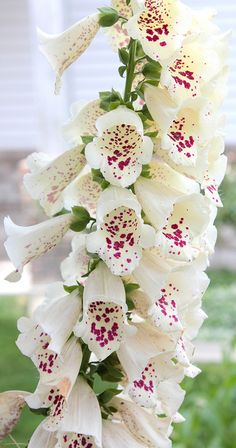 White foxglove - see all those mauve speckles- they're actually road maps guiding the bees to the nectar. Ain't nature wonderful?
