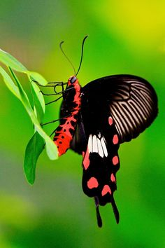 ~~Common Rose Butterfly by Kenneth Er~~ ¡ya empieza la temprada de las mariposas! Flying Flowers, Butterfly Flowers, Butterfly Wings, Butterfly Kisses, Butterfly Dragon, Monarch Butterfly, Cool Insects, Bugs And Insects, Flying Insects