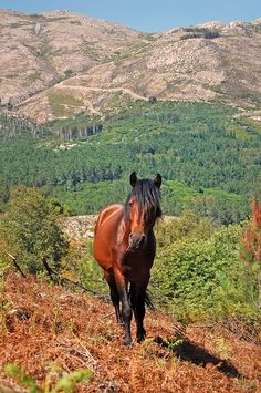"Garrano, wild horses, Gerês Forest, Portugal. The ""Garrano"" is a breed of small horses which still live in freedom in some parts of northern Portugal. Worker, docile, it is a breed protected due to it's risk of extinction."