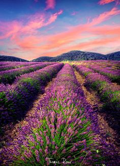 ***Lavender field (Provence, France) by Thomas Roux on 500px