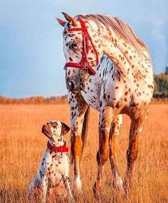 Brothers by different mothers ~ Beautiful Appaloosa horse! Pretty golden red field with the sunset shining on matching red spotted horse with red halter and dog with red collar. Horses And Dogs, Cute Horses, Pretty Horses, Horse Love, Beautiful Horses, Animals Beautiful, Pretty Animals, Beautiful Places, Cute Funny Animals