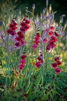 Gladiolus papilio 'Ruby' with Sanguisorba  Clive Nichols Photography.