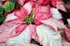 Frosted Poinsettia