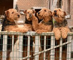 Airedale Terrier Dog Breed Information, Pictures, Characteristics & Facts - Dogtime