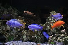 Cichlids (introduced) Santa Ana River and flood canals of Orange County