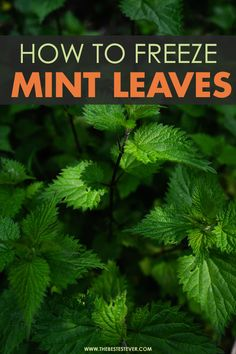Quick guide showing you how to freeze mint leaves properly So that you can have them on hand when them. Find out the pros and cons of freezing mint leaves, as well as the proper steps to take to ensure that they are stored properly in the freezer. Uses For Mint Leaves, Mint Plant Uses, Mint Leaves Recipe, Drying Mint Leaves, Mint Plants, Fresh Mint Leaves, Mint Recipes, Herb Recipes, Preserve Fresh Herbs