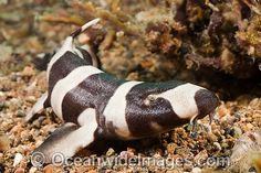 Bamboo Shark: The brownbanded bamboo shark, Chiloscyllium punctatum, is a bamboo shark in the family Hemiscylliidae found in the Indo-West Pacific from Japan to northern Australia, in depths of 279 ft. Its length is up to 41 in. While adults are overall brownish with faint suggestions of bands, the commonly seen juveniles are distinctly barred dark and pale.