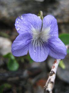 Kauneuden Yrttitarha: Poimulehti - Luonnon oma ryppyvoide Plants, Plant, Planets