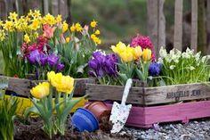 L'autunno è il momento giusto per piantare i bulbi che fioriranno in primavera come crochi, giacinti, narcisi, tulipani, ecc.. Ecco tutto quello che c'è da sapere: http://www.viridea.it/consigli/le-bulbose-primaverili/?a=cura-del-verde&t=consiglio&c=&g=all&r #autunno #autumn #fall #flowers #bulbs #tips #tulip #daffodils #narcissus