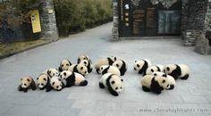 Baby panda invasion