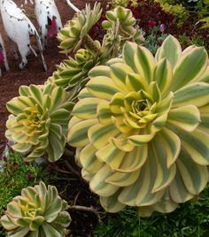 Amazing Unusual Plants To Grow In Your Garden Succulent Landscaping, Succulent Gardening, Cacti And Succulents, Planting Succulents, Garden Plants, House Plants, Planting Flowers, Echeveria, Horticulture