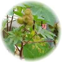 Herbs gallery - Castor - Great website - has every plant imaginable and includes medicinal properties.