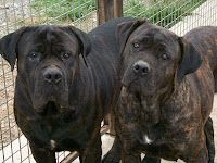 Cane Corso (Italian Mastiff) -- I would love a pair of my own