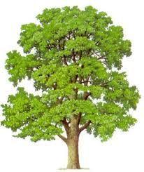 Výsledok vyhľadávania obrázkov pre dopyt ihličnaté stromy smrek