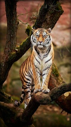 The tiger is the guardian of the forests, according to Indian wisdom. This captive tiger seems to be doing his/her own vigil. Nature Animals, Animals And Pets, Cute Animals, Animals In The Wild, Beautiful Cats, Animals Beautiful, Big Cats, Cats And Kittens, Gato Grande