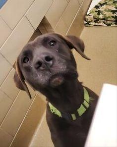 9/19_a45527481 Labrador Retriever For Adoption In Wichita Falls Texas