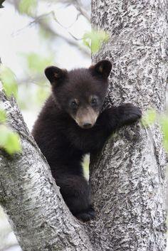 The Smokies native Black Bear
