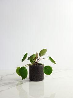 Small Conpot with lovely pilea